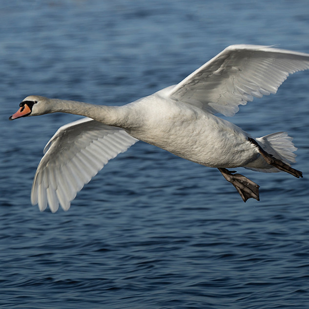 Mute Swan about to land