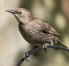 Young Starling.jpg