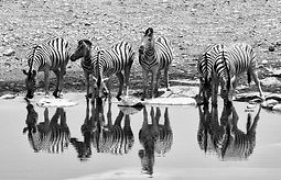 Zebras at waterhole mono.jpg