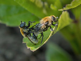 Solitary Bees mating.jpg