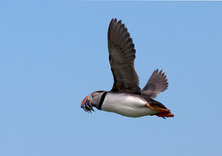 Puffin returning with catch