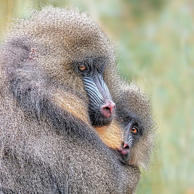 Mandrill Mother with Baby