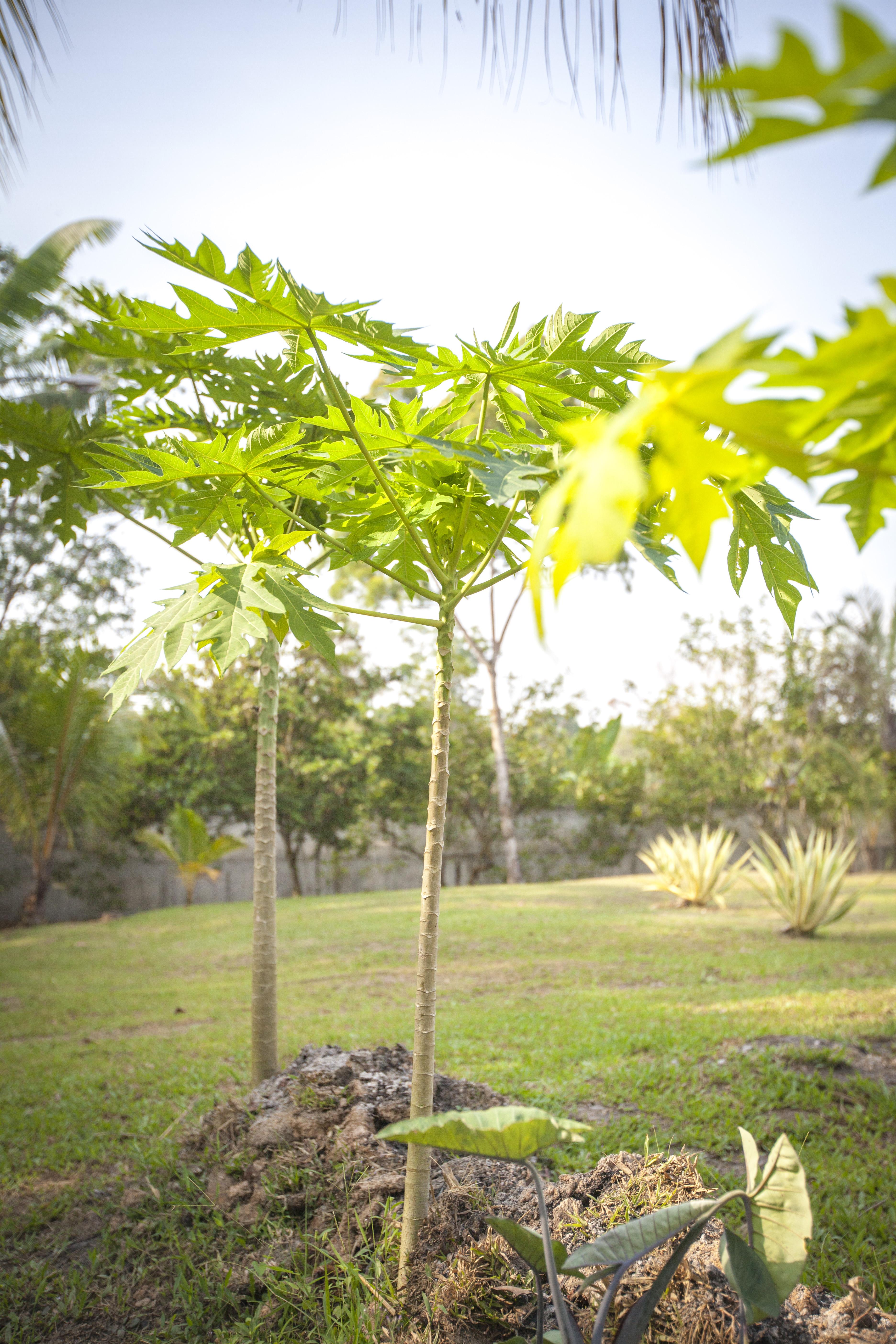 FCC_Papaya Trees
