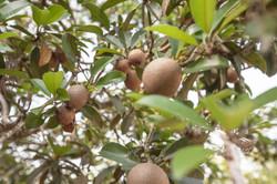 FCC_Ciku Tree