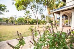 FCC_Thai Basil Plant