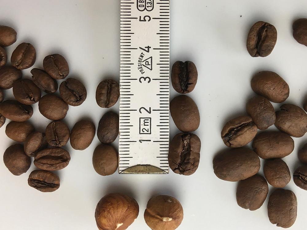 Hier zeige ich Euch einmal den Größenvergleich zweier Arabicbohnen. Einmal aus Äthiopien und einmal aus El Salvador. Ich habe zwei Haselnüsse zum Vergleich dazu gelegt.