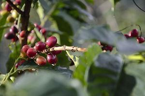 kaffeemalanders-ueber-kaffeekirschen