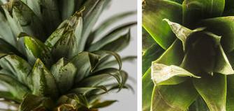 Ananas aan je schouder en voeten