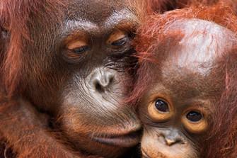 Orang-oetans ernstig bedreigd en op Rode Lijst