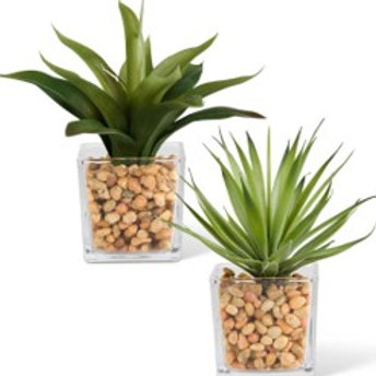 Assorted 7.75 Inch Agave in Glass Vases with Pebbles