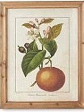 Botanical Fruit Prints in Wood Frames