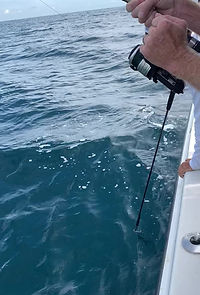 Catching a cobia