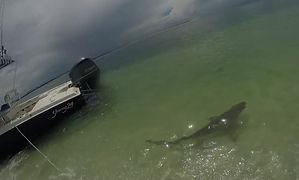 SHARK REVIVAL