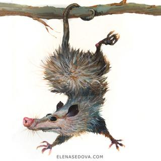 Animal portret - oppossum.jpg