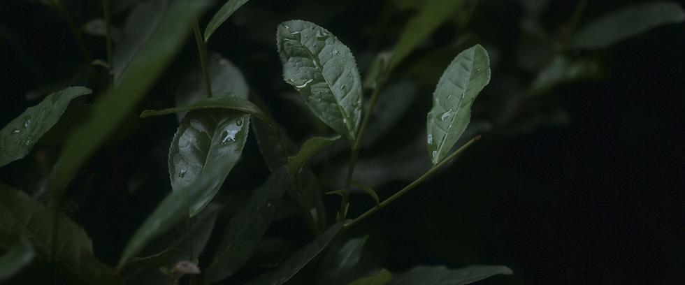Tea Leaves.png