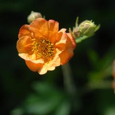 Geum' Totally Tangerine'
