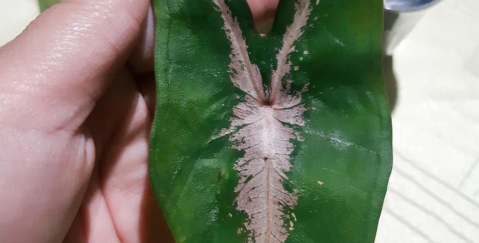 Caladium Picturatum Cianita