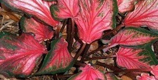 Caladium Pink Gem