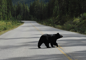 Black Bear crossing Highway