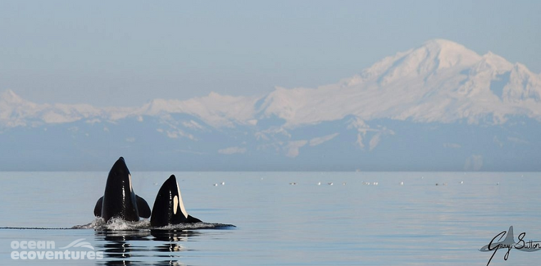 killer whales.PNG