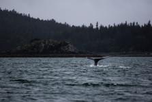 Whale tale British Columbia Canada