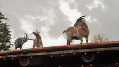 Goats on the Roof Coombs Old Country Market