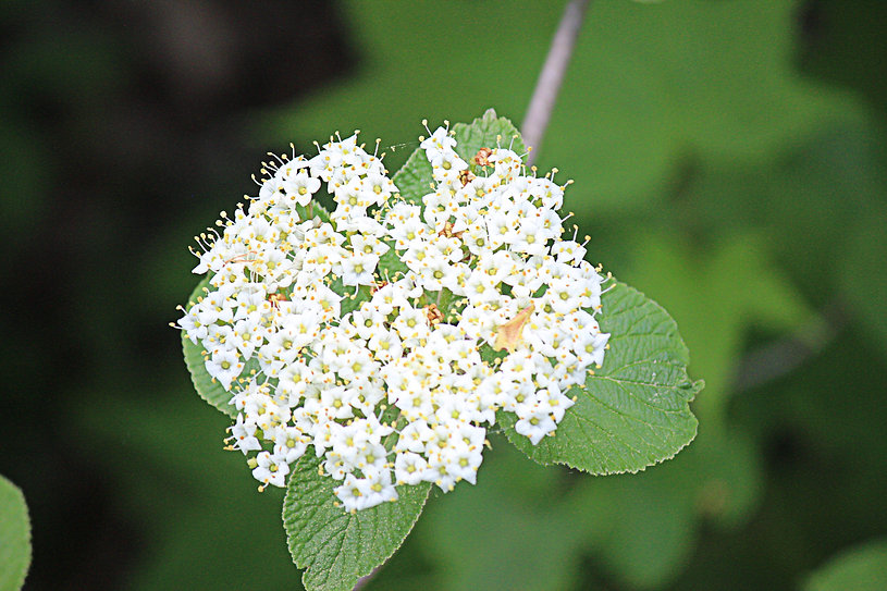 WhiteBlossoms.jpg
