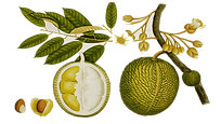 kisspng-durio-zibethinus-clip-art-fruit-