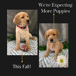 Conquest labradors Expecting More Puppies This Fall!