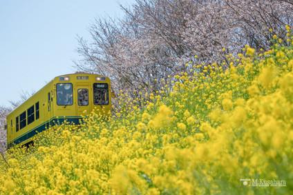 いすみ鉄道菜の花