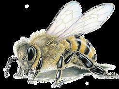 1e3469d37936d45f877fb7f3eee55f3f_honey-bee-framed-original-drawing-wildlife-drawings-by-ji