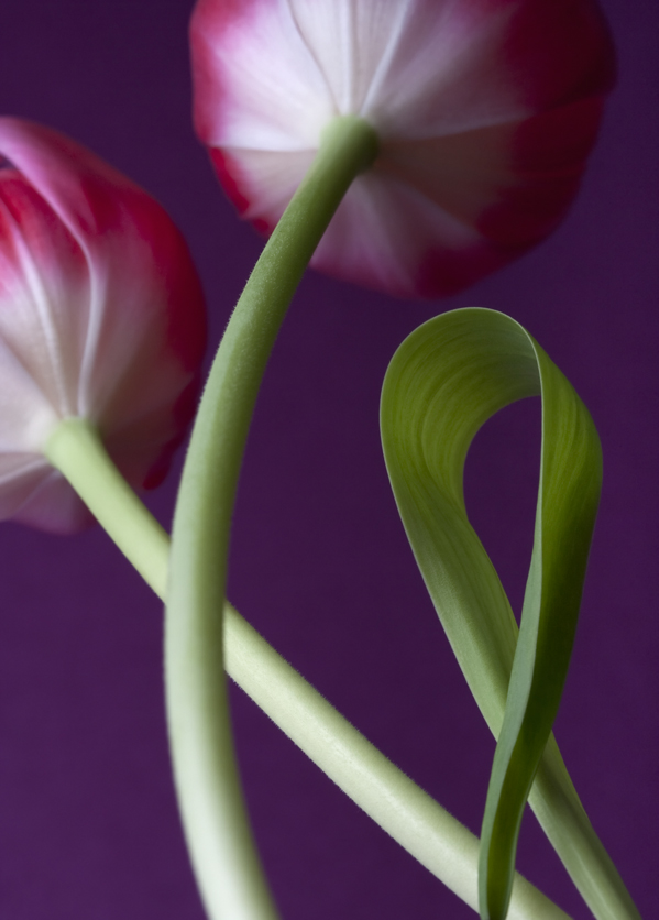 Entwined Tulips