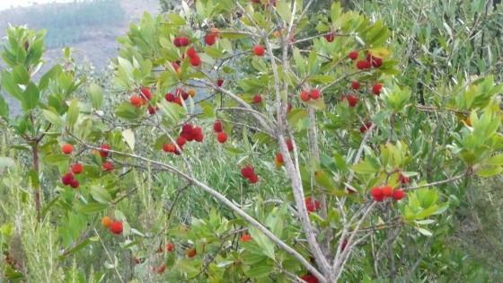 Malavettes_Arbre_à_fraises_.jpg