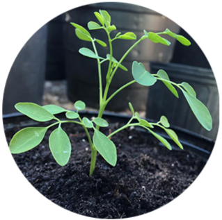 Follow Along with Theresa's Moringa Seed Starting Journey