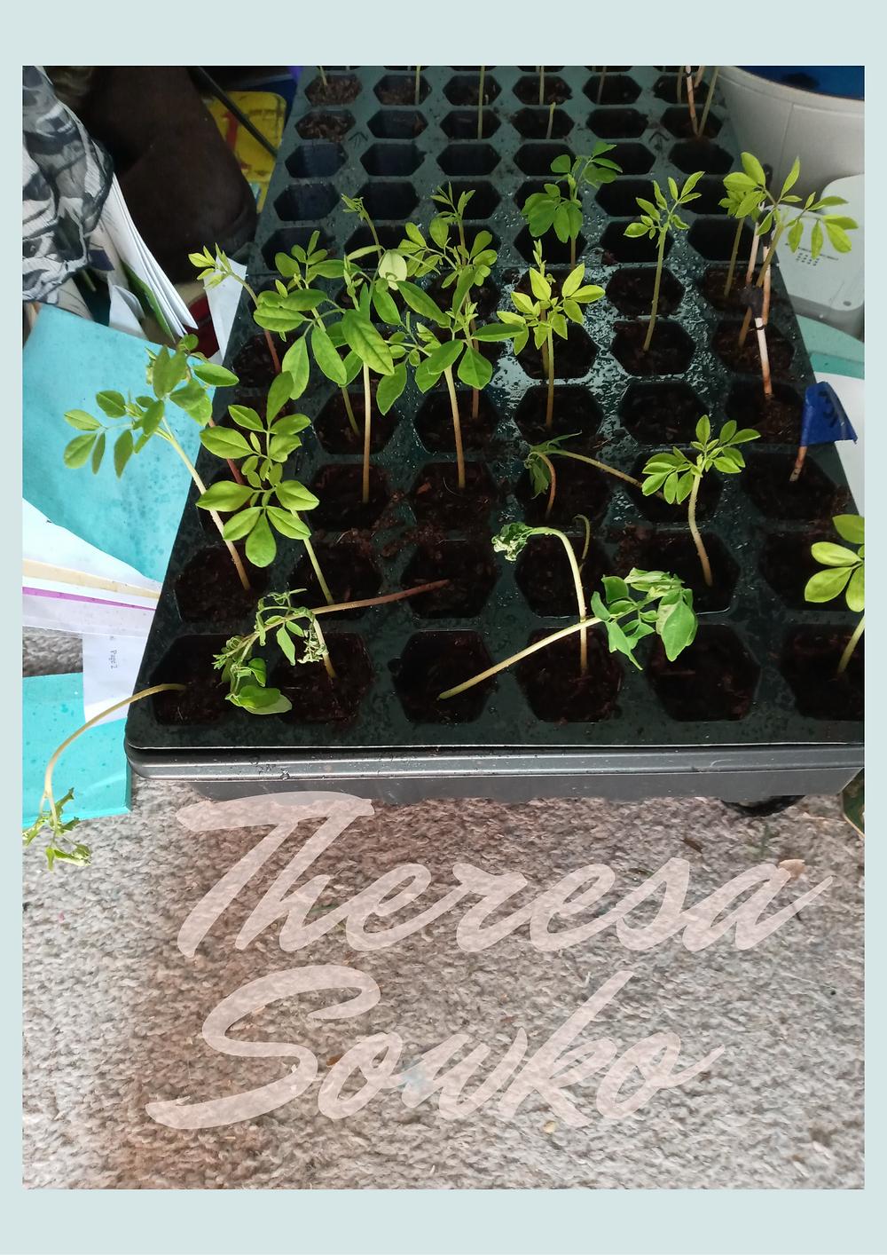 Moringa Seedlings that were left in the sun too long, lean over