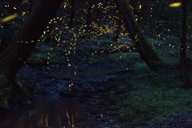 Synchronous Fireflies in Fossil Creek June 2020