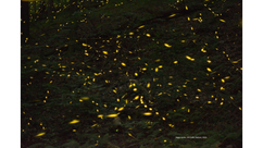 Firefly Nursery July 4, 2020