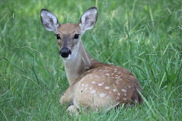 爱护自然 - 鹿.JPG