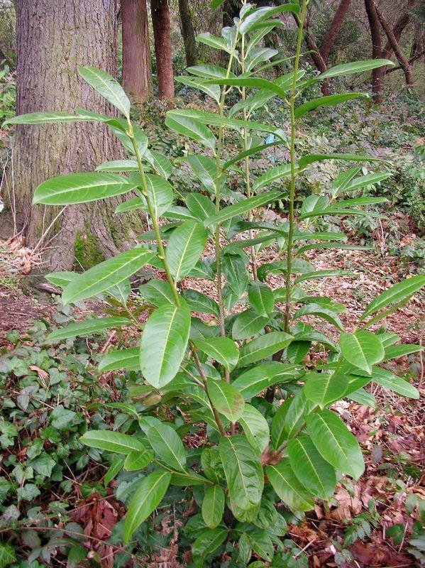 Invasive dark evergreen shrub