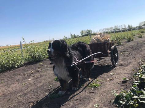 Vito pulling cart
