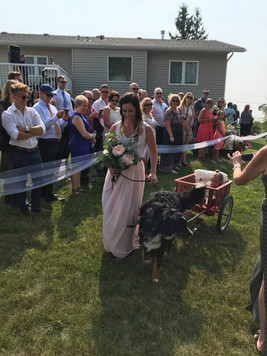 Joy and Kaiser pulling Amora in a wedding