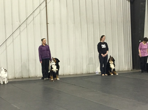 Sit Stay in Obedience Ring (8 Months)