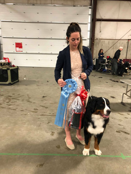 Abby - Best Puppy in Bernese Mountain Dog Specialty