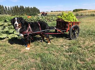 Abby pulling lettuce in the cart.jpg