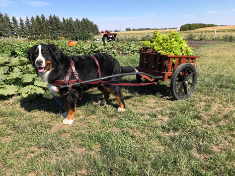 Abby pulling lettuce in the cart