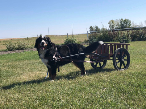 Abby pulling cart