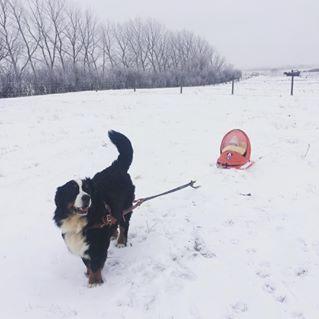 Vito pulling the sleigh (Carting/Drafting)