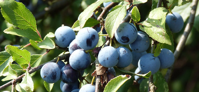 Sloe_berries_edited.jpg