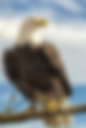 Eagle Free.png