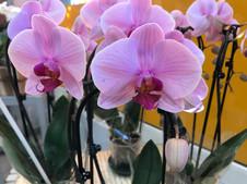 Orchidée Phalaenopsis 20€